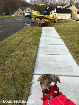 The back of a blue-nose brindle Pit Bull Terrier that is looking down a street at a bulldozer that is parked across a sidewalk in a neighborhood.