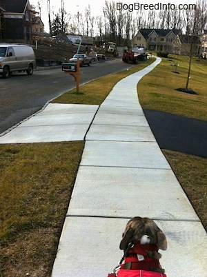 The back of a blue-nose brindle Pit Bull Terrier that is walking down a sidewalk in a neighborhood.