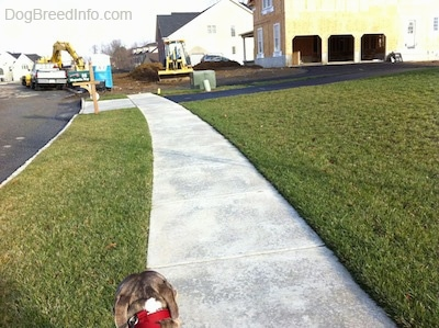 The back of a blue-nose brindle Pit Bull Terrier that is walking down a sidewalk and in front of him is a house that is under construction. There are yellow machines in the home's yard.