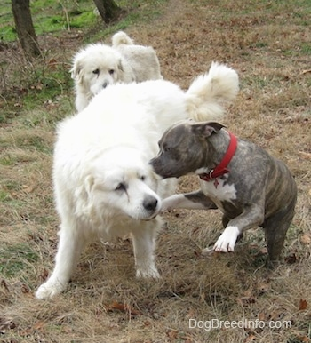 A blue-nose brindle Pit Bull Terrier is in mid-air playing with two large white Great Pyrenees that are on a hill.