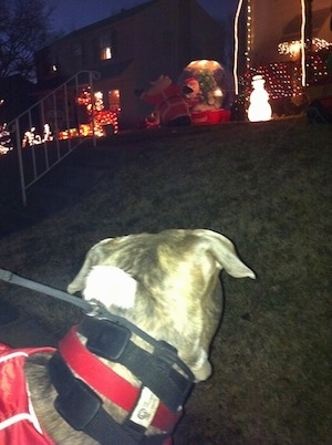The back of a blue-nose brindle Pit Bull Terrier that is looking up a small hill at a person's Christmas decorations.