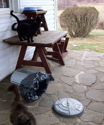 Two black cats are standing on a wooden table in front of a white farm house on a stone porch. There is a knocked over metal trash can and a third cat walking away.