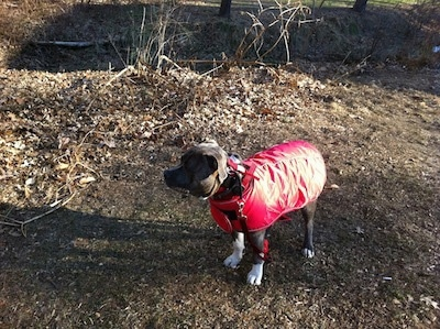 A blue-nose brindle Pit Bull Terrier in a red vest is standing on a dirt path looking to the left.