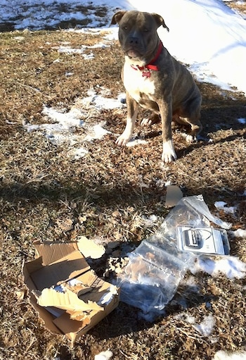 A blue-nose brindle Pit Bull Terrier is sitting in grass, which has snow on it behind a cardboard box that was ripped open with the contents laying on the ground. He is looking forward.