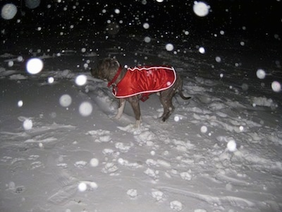 A blue-nose brindle Pit Bull Terrier is wearing a red vest and he is standing in snow at night. It is actively snowing around the dog.