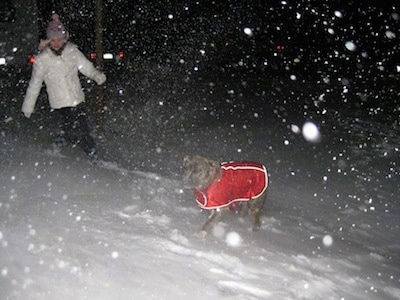 A girl is a white coat is running around next to a blue-nose brindle Pit Bull Terrier that is in a red vest. It is actively snowing outside.