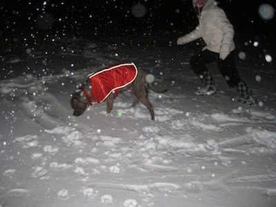 A blue-nose brindle Pit Bull Terrier is wearing a red vest and he is sniffing around in snow. Running behind him is a girl in a white coat.