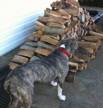 The back of a blue-nose brindle Pit Bull Terrier that is looking at a pile of split logs.