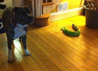 A blue-nose brindle Pit Bull Terrier is standing on a hardwood floor and he is looking to the right with a long squeaky toy snake to the right of him.