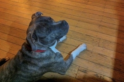 A blue-nose brindle Pit Bull Terrier is laying on a hardwood floor and he is looking up and to the right.