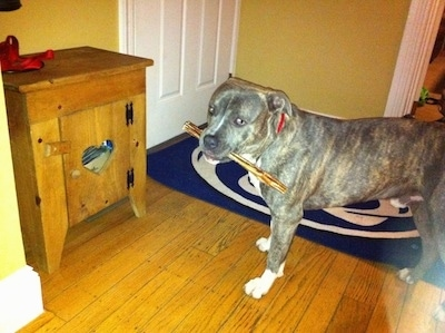 A blue-nose brindle Pit Bull Terrier is standing on a hardwood floor in front of a closed door and he has a bully stick in his mouth. He is looking forward.