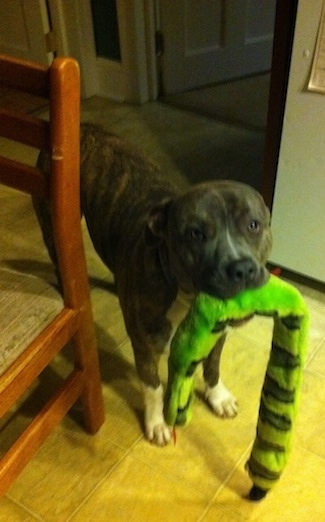 A blue-nose brindle Pit Bull Terrier is standing on a tiled floor and he has a squeaky green snake toy in his mouth. There is a chair to the left of him.