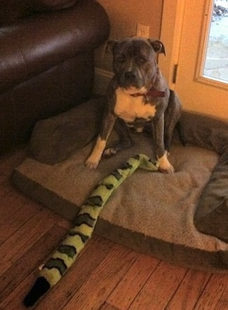 A blue-nose brindle Pit Bull Terrier is sitting on a dog bed next to a brown leather couch and there is a green squeaky toy snake extended out in front of him.