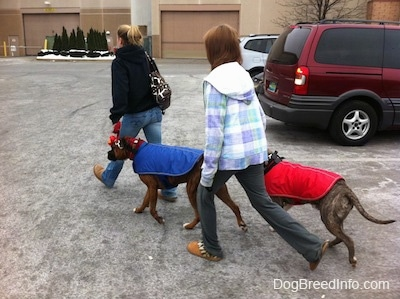 A girl in black and a girl in a plaid blue, white and green jacket are walking across a parking lot with a brown brindle Boxer, in a blue vest and a blue-nose brindle Pit Bull Terrier, in a red vest.