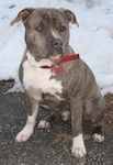 A blue-nose brindle Pit Bull Terrier is sitting on a blacktop surface and behind him is a snow covered field.