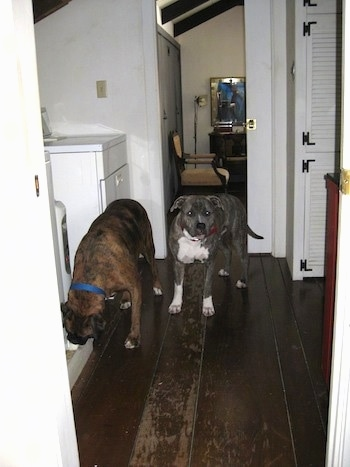 A blue-nose brindle Pit Bull Terrier and a brown brindle Boxer are standing on a hardwood floor. The Boxer is sniffing an item to the left of him. They are in a washroom.