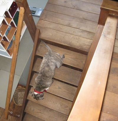 A blue-nose brindle Pit Bull Terrier is climbing down a wooden staircase.