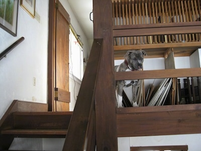 A blue-nose brindle Pit Bull Terrier is standing at the top of a staircase and he is looking down between the wooden bannister.
