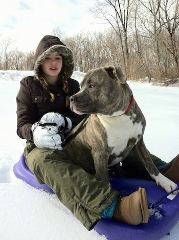 A blue-nose brindle Pit Bull Terrier is sitting on a purple sled and sitting behind him is a blonde-haired girl with a brown coat on.