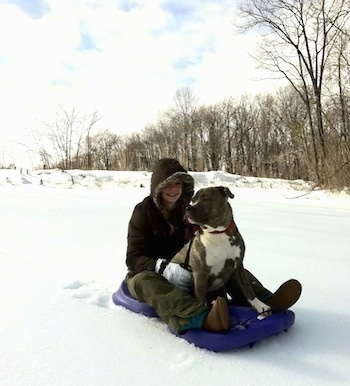 A blonde-haired girl is sitting behind a blue-nose brindle Pit Bull Terrier on a purple sled in snow. She has her hands on his side.