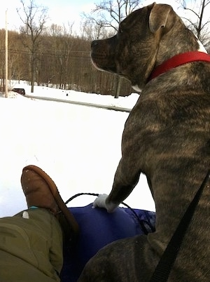 A blue-nose brindle Pit Bull Terrier is sitting on a purple sled and there is a person in green snow pants and brown boots sitting behind him.