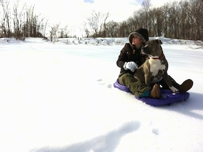 A blonde-haired girl is sitting behind a blue-nose brindle Pit Bull Terrier on a purple sled. They are looking to the left.