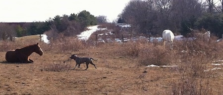 A blue-nose Brindle Pit Bull Terrier is running across a field towards a brown with white horse that is laying down. There are a couple of white horses off to the right.
