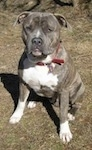 A blue-nose brindle Pit Bull Terrier is sitting in grass and he is looking forward. There is a small hill behind him.