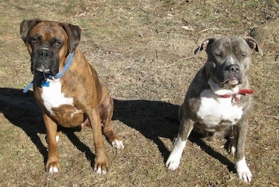 A brown brindle Boxer is sitting next to a blue-nose Brindle Pit Bull Terrier. They both are looking up.
