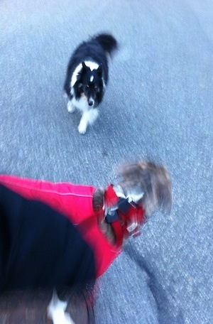 A black with white and tan Sheltie dog is running down a blacktop surface at a red vest wearing blue-nose Brindle Pit Bull Terrier.