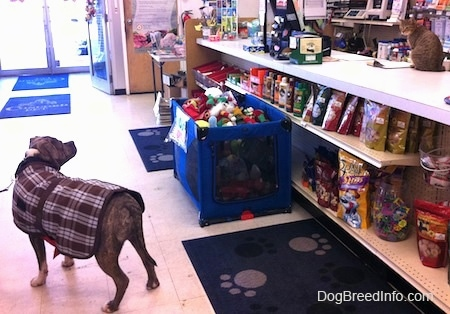 A blue-nose Brindle Pit Bull Terrier is wearing a brown and white plaid vest standing on a white tiled floor in a pet store. His body is facing the left and he is looking to the right at a cat sitting on the counter.