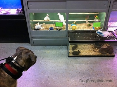 A blue-nose Brindle Pit Bull Terrier is looking down at birds in a cage inside of a pet store.