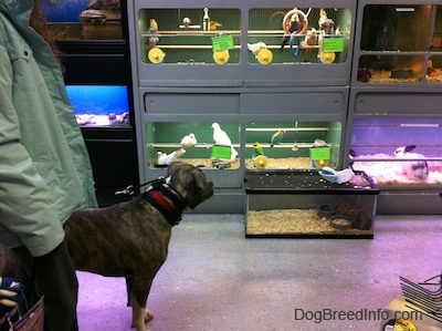 A blue-nose Brindle Pit Bull Terrier is standing across from birds and rats in a cage. The rats are huddled into one corner of a cage.
