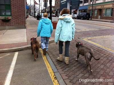 The back of two ladies in blue that are leading a blue-nose Brindle Pit Bull Terrier and a brown brindle Boxer on a walk. They are crossing a street in town.