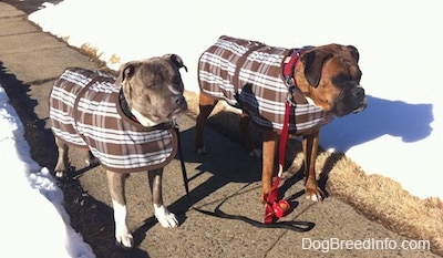 A blue-nose Brindle Pit Bull Terrier and a brown brindle Boxer are both wearing brown and white plaid vests. They are standing on a sidewalk and there is snow all over the fields behind them.