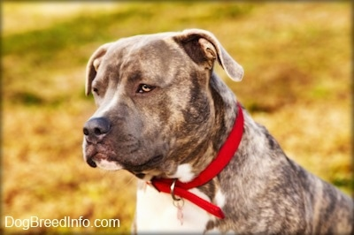 Close up head and upper body shot - A blue-nose brindle Pit Bull Terrier is sitting in grass and he is looking to the left.