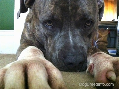 Close up - A blue-nose brindle Pit Bull Terrier is laying down on a carpet and he is reaching out.