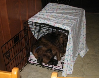 A big brown brindle Boxer is sleeping in a small dog crate that is covered in a white sheet.