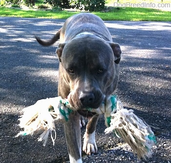 A blue-nose Brindle Pit Bull Terrier is walking down a blacktop surface and he has a rope toy in his mouth.