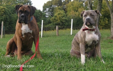 Two wide-chested dogs - A brown with black and white Boxer is sitting next to a blue-nose Brindle Pit Bull Terrier. They are both sitting in grass and looking forward.