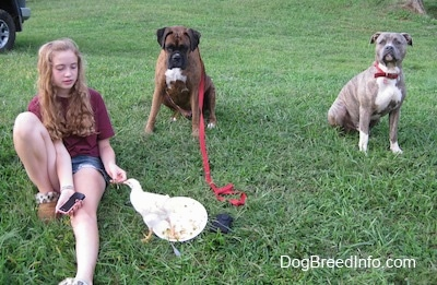 A girl in Maroon is feeding food to a baby rooster. Sitting behind her is a brown with black and white Boxer that is looking at a chicken. A blue-nose Brindle Pit Bull Terrier is sitting in grass and he is looking up.