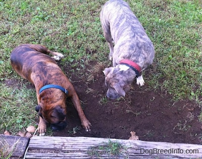 The back of a brown brindle Boxer and a blue-nose Brindle Pit Bull Terrier that are digging a hole in the ground.