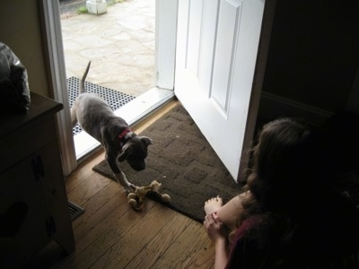 A blue-nose Brindle Pit Bull Terrier puppy is walking through a cracked door to a girl sitting in front of the door.
