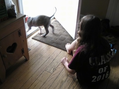 A blue-nose Brindle Pit Bull Terrier puppy is walking out of a door and a girl in a maroon shirt is watching him walkout.