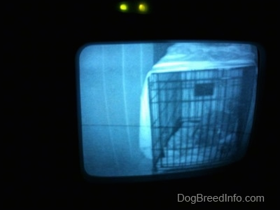 A photo of a video baby monitor that is displaying a blue-nose Pit Bull Terrier puppy that is laying in a crate.