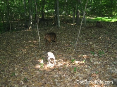 The back of a brown brindle Boxer and a blue-nose Brindle Pit Bull Terrier puppy are digging in leaves in between the trees in the woods.