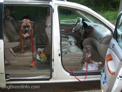 A brown brindle Boxer is standing on the middle bucket seat in a Toyota Sienna minivan looking forward. A blue-nose brindle Pit Bull Terrier puppy is standing in front of the passenger side floor looking forward. The doors of the vehicle are open.