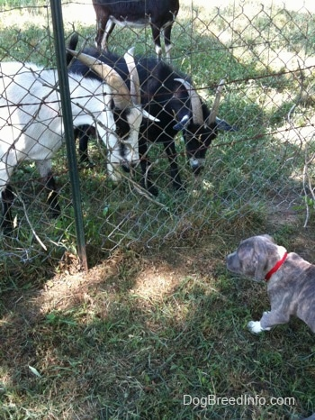 A blue-nose Pit Bull Terrier puppy is standing in grass on the opposite side of a fence. There are goats looking down at the puppy on the other side of the fence.