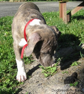 Close up - A blue-nose Brindle Pit Bull Terrier puppy is standing in dirt and looking down at a pile of poop.