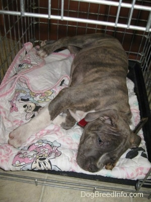 A blue-nose Pit Bull Terrier puppy is sleeping on his left side inside of a dog crate on top of a white and pink mini mouse blanket.